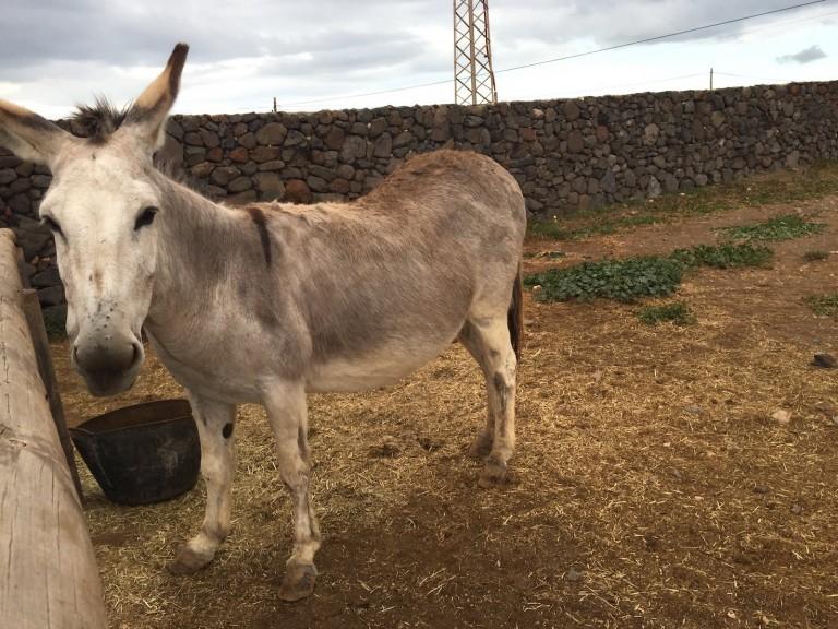 Esel auf der Finca de Arrieta, Lanzarote