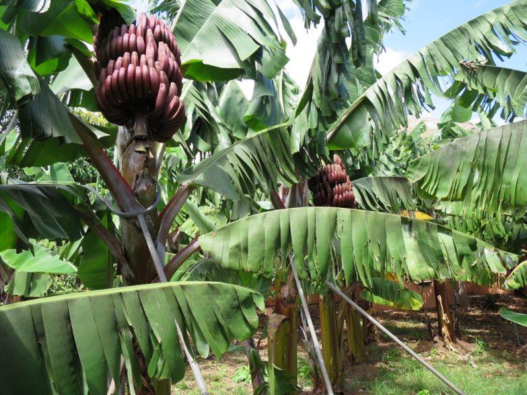 Bananen auf El Cabrito