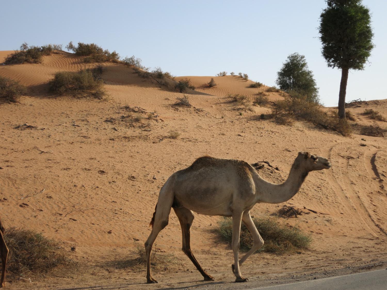 Kamele in der Wüste am Straßenrand