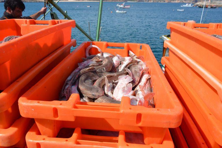 Frischer Fisch beim Verladen vom Boot
