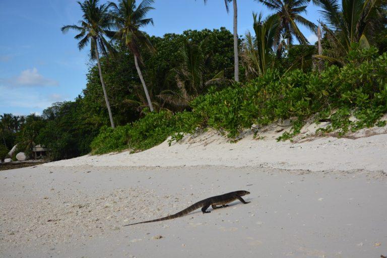 Monitor Lizard Nikoi Island