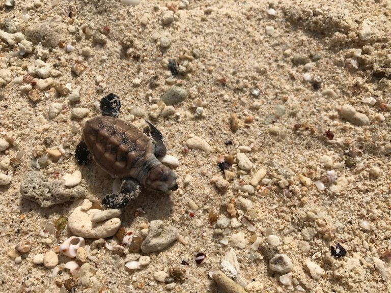 Babyschildkröte Nikoi Island